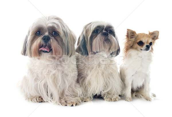 Shih Tzu and chihuahua Stock photo © cynoclub