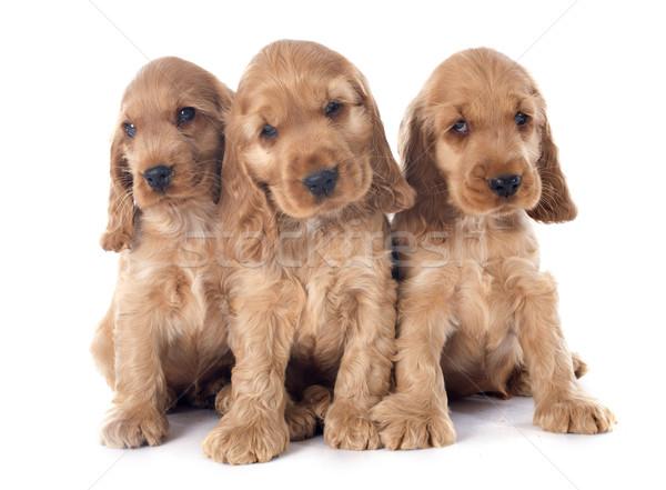 puppies english cocker Stock photo © cynoclub