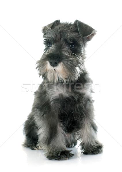 Cachorro miniatura schnauzer branco Foto stock © cynoclub