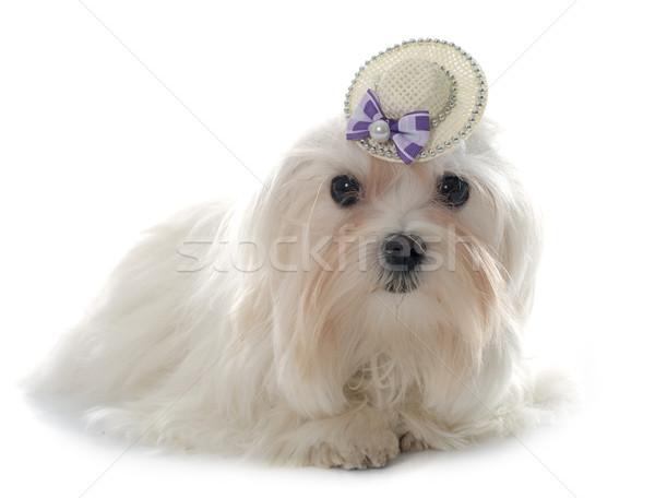 young maltese dog Stock photo © cynoclub