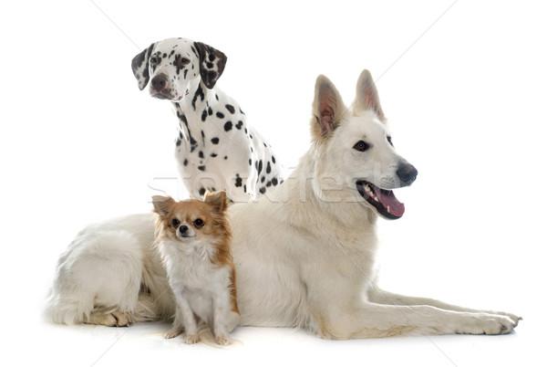 Stock fotó: Három · gyönyörű · kutyák · juhász · dalmata · fehér
