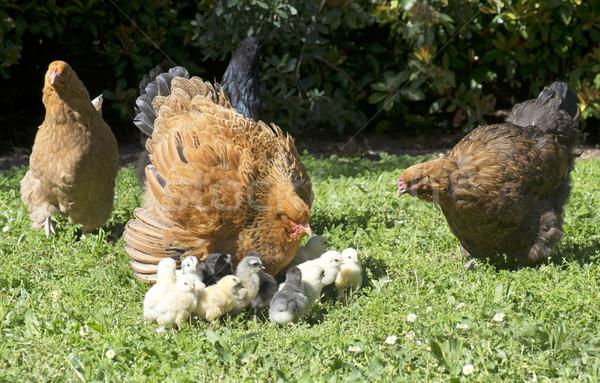 Pollo pulcini giardino natura madre femminile Foto d'archivio © cynoclub