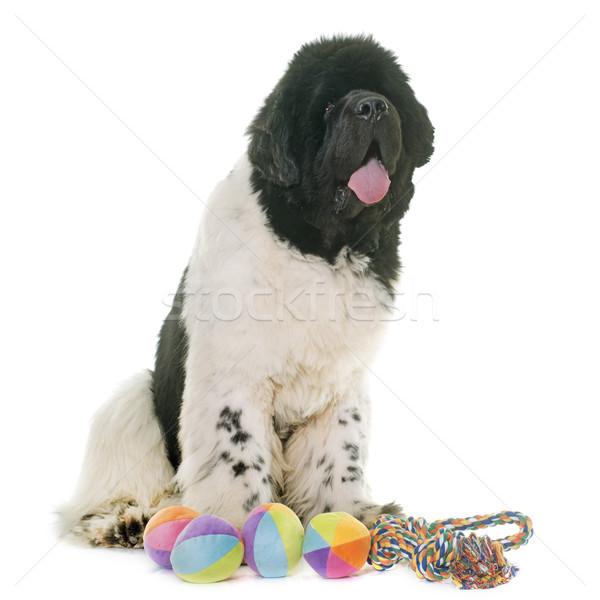 черно белые Ньюфаундленд собака белый мяча Сток-фото © cynoclub