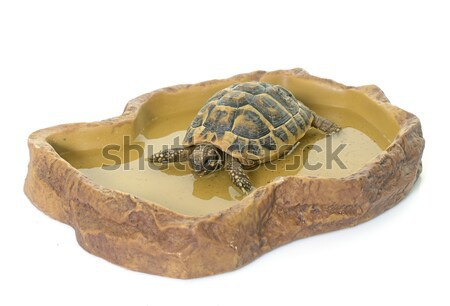 turtle in watering hole Stock photo © cynoclub