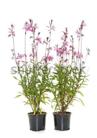 Salvia microphylla in studio Stock photo © cynoclub