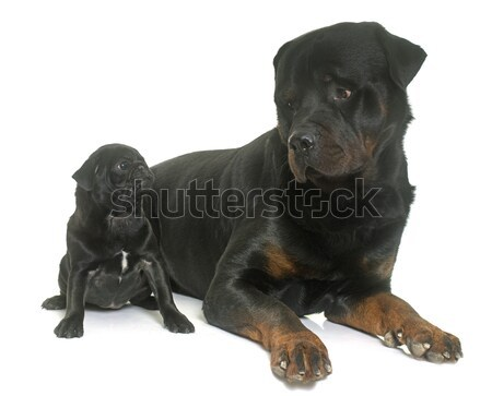 puppy black pug and rottweiler Stock photo © cynoclub