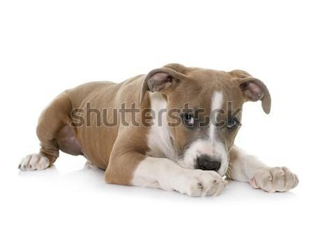 Kutyakölyök staffordshire terrier fehér beteg alszik szomorúság Stock fotó © cynoclub
