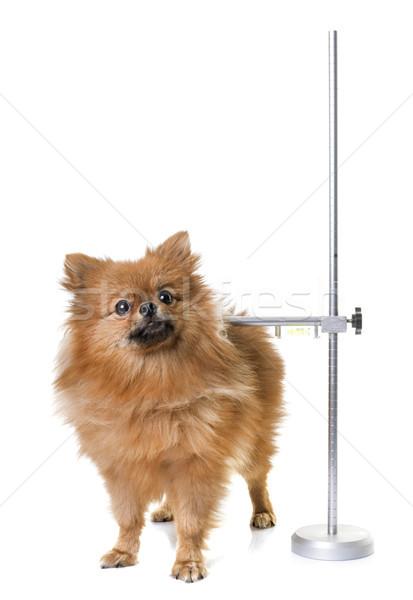 measuring rod for dog Stock photo © cynoclub
