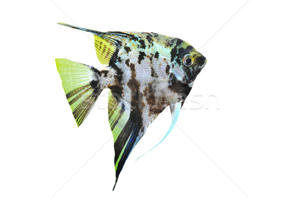 pterophyllum scalare Stock photo © cynoclub
