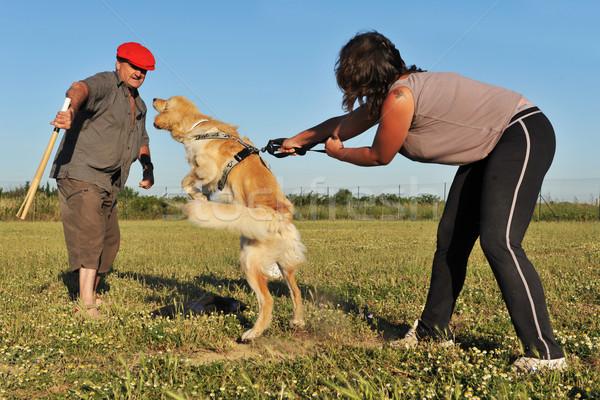 Képzés támadás kutyakiképzés fajtiszta kutya rendőrség Stock fotó © cynoclub