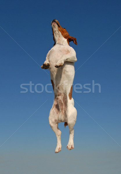 jumping jack russel terrier Stock photo © cynoclub