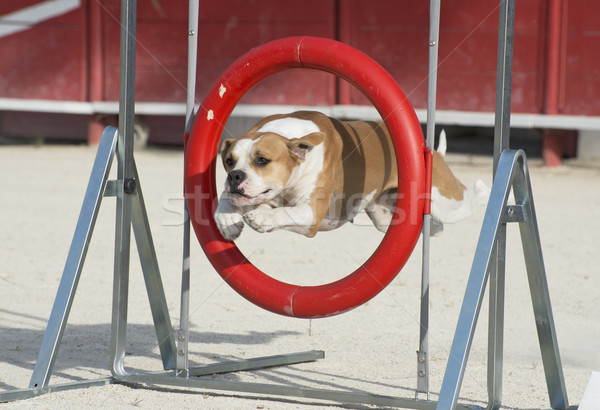 american bulldog in agility Stock photo © cynoclub