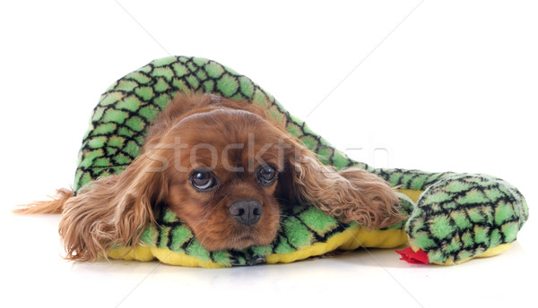 cavalier king charles Stock photo © cynoclub