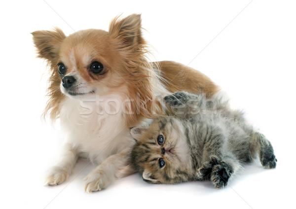 Stockfoto: Kitten · exotisch · korthaar · hond · kat · puppy