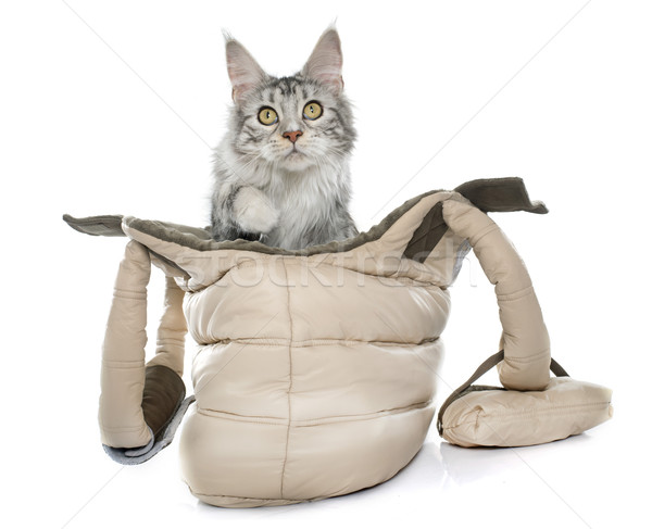 maine coon cat in bag Stock photo © cynoclub