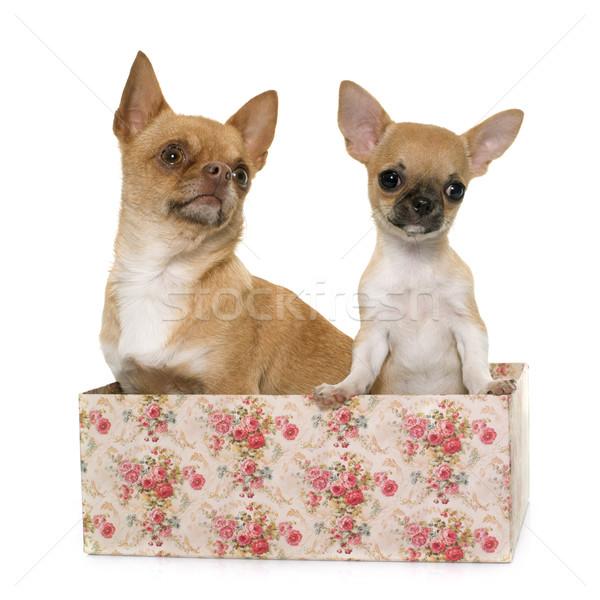 成人 子犬 ショートヘア 犬 ボックス 女性 ストックフォト © cynoclub