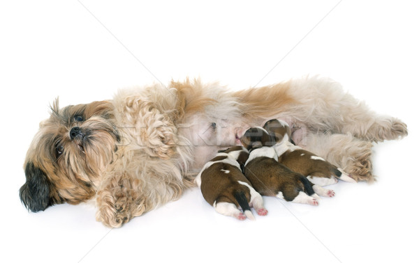 shih tzu dog and puppies Stock photo © cynoclub