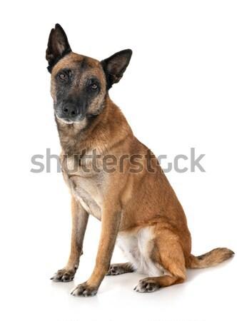 бык дог Роге белый собака весело Сток-фото © cynoclub