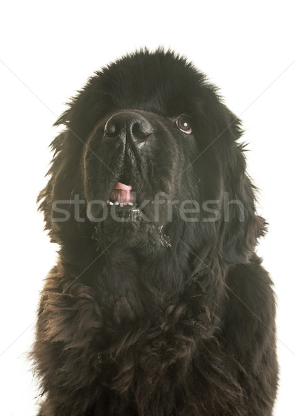 adult newfoundland dog Stock photo © cynoclub