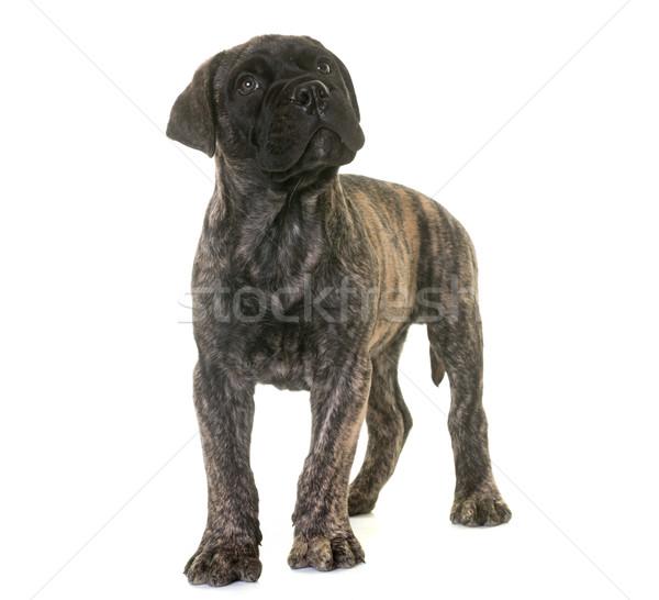 子犬 牛 マスチフ 犬 動物 ペット ストックフォト © cynoclub