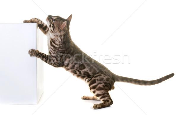 Bengalski kot studio biały zwierząt skoki Zdjęcia stock © cynoclub