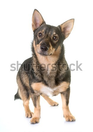 Swedish Vallhund in studio Stock photo © cynoclub