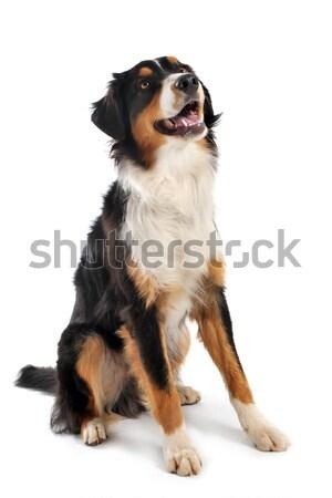 Australiano pastor blanco perro feliz Foto stock © cynoclub