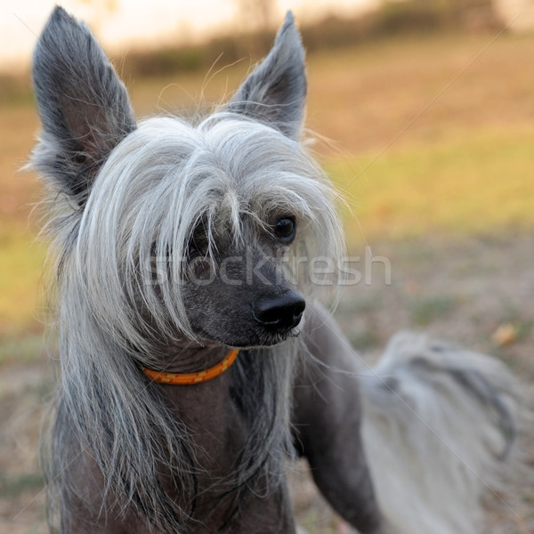 Chinese Crested Dog Stock photo © cynoclub