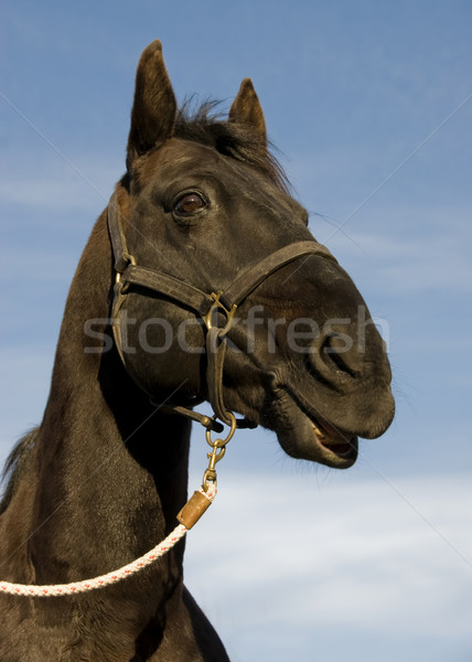 happy black stallion Stock photo © cynoclub