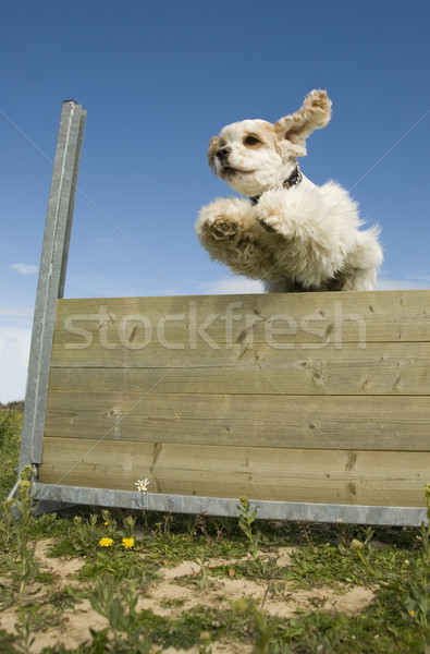 jumping cocker Stock photo © cynoclub
