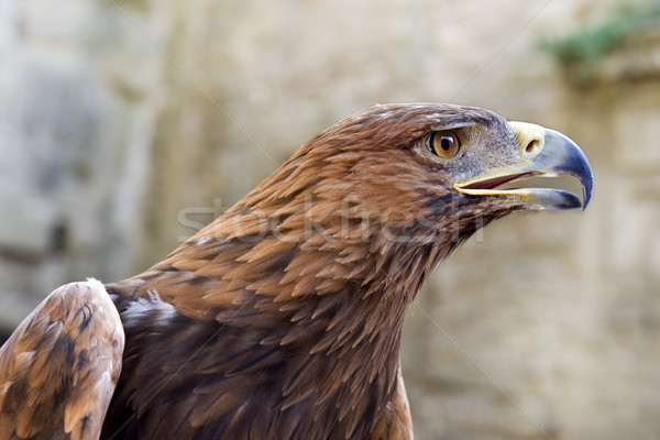 Golden Eagle ,Aquila chrysaetos Stock photo © cynoclub