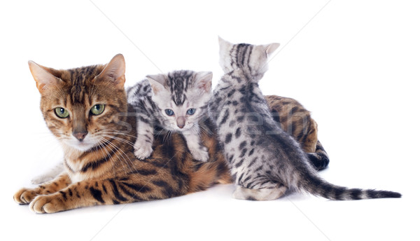 bengal kitten and adult Stock photo © cynoclub