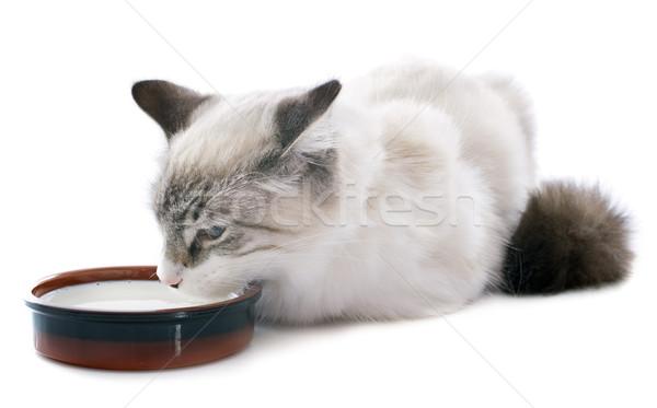 питьевой котенка белый глазах кошки ПЭТ Сток-фото © cynoclub