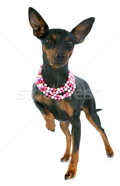 miniature pinscher Stock photo © cynoclub