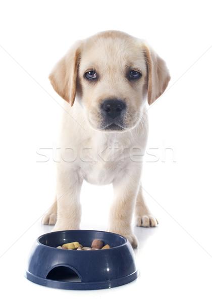 Puppy labrador retriever eten studio voedsel Stockfoto © cynoclub