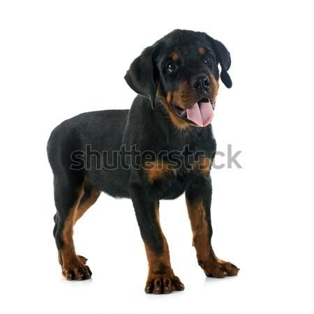 Chiot rottweiler blanche chien noir Photo stock © cynoclub