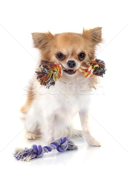 играет собаки игрушку собака студию щенков Сток-фото © cynoclub