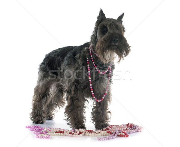 miniature schnauzer Stock photo © cynoclub