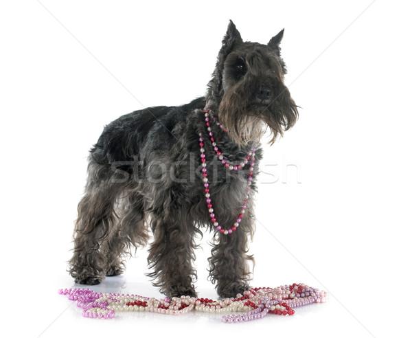 Miniatur Schnauzer weiß Hund Tier Perle Stock foto © cynoclub
