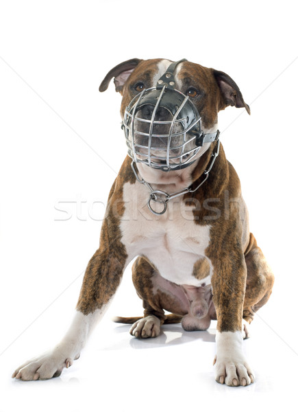 american stafforshire terrier and muzzle Stock photo © cynoclub
