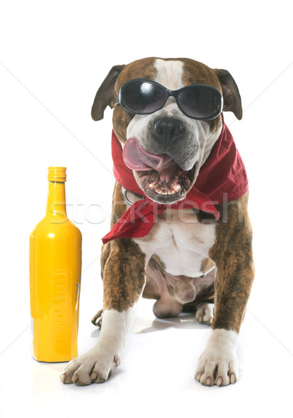 Diversão americano terrier branco cão álcool Foto stock © cynoclub