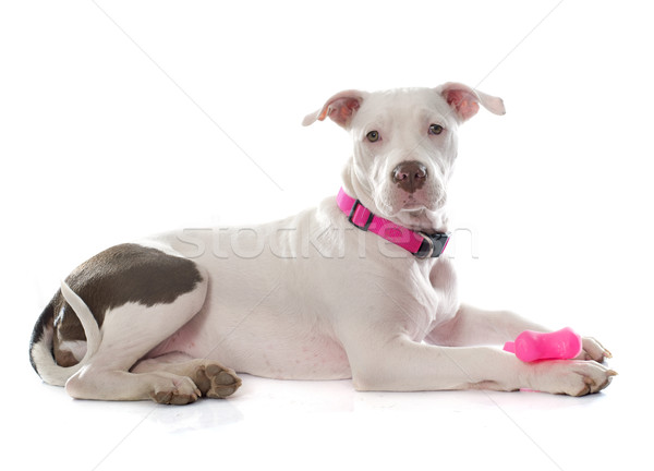 young pitbull terrier Stock photo © cynoclub