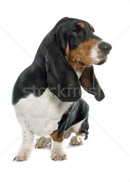 小さな ハウンド 白 犬 黒 スタジオ ストックフォト © cynoclub
