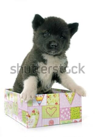 Stok fotoğraf: Köpek · yavrusu · çoban · köpeği · beyaz · kutu · siyah · genç