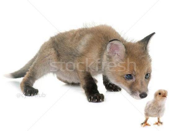 Fox куриного студию белый продовольствие Сток-фото © cynoclub