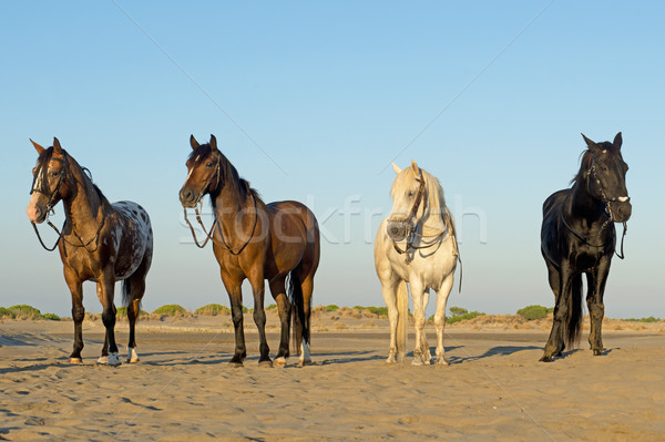 four horses on the beach Stock photo © cynoclub