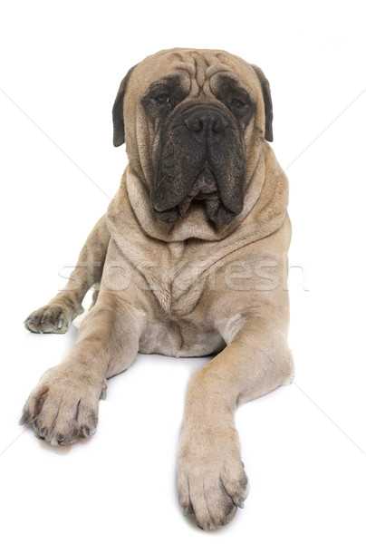 Сток-фото: бык · дог · студию · белый · собака · животного