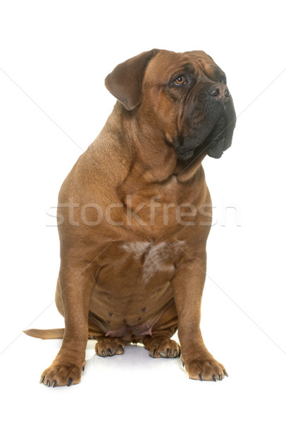 dogue de Bordeaux Stock photo © cynoclub