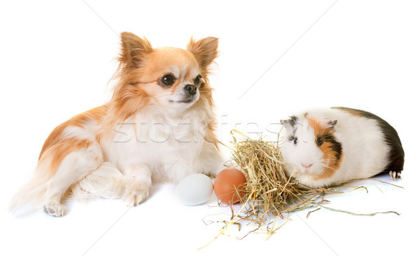guinea pig and chihuahua Stock photo © cynoclub