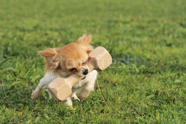 puppy chihuahua and stick Stock photo © cynoclub